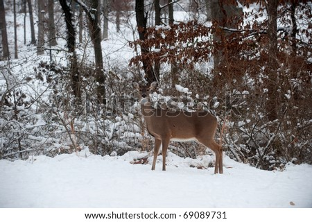 A white-tailed deer doe standing on the edge of a snowy meadow following a winter storm. - stock photo