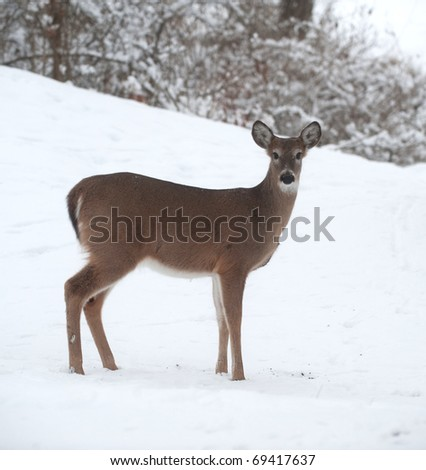 A white-tailed deer doe standing on the edge of a snowy meadow following a winter storm.