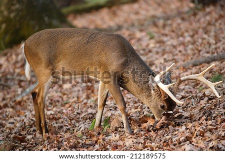 A white-tailed deer feeding in the leaves. - stock photo