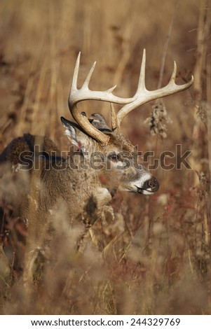 A white-tailed deer in tall grass - stock photo