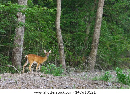 A white-tailed deer (Odocoileus virginianus), also known as the Virginia deer or simply as the whitetail outside in it's habitat in nature on a summer day - stock photo