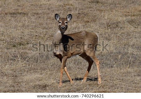 A white tailed deer taking a look