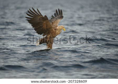 A White-tailed eagle carrying a fish and appearing to walk on water as it transitions to  upward flight and lifting.