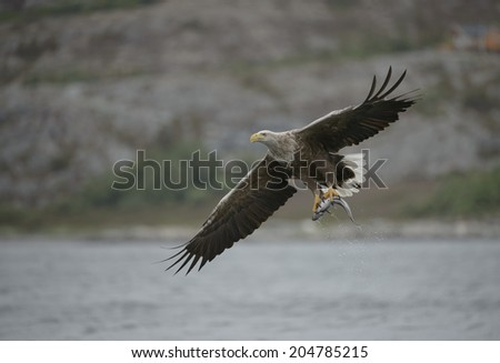 A White-tailed eagle carrying a fish which it has just caught.