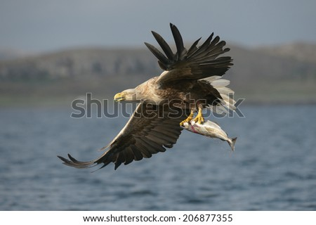 A White-tailed eagle carrying its prize, a fish which it has just plucked from the waters of a deep Norwegian fjord.  Its third eyelid is partially closed because the bird is blinking. - stock photo