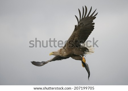 A White-tailed eagle carrying its prize, a fish which it has just plucked from the waters of a deep Norwegian fjord. - stock photo