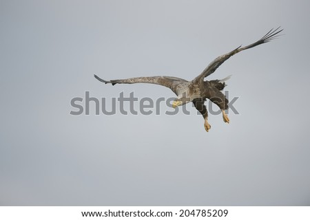 A White-tailed Eagle has spotted a potential meal and begins a shallow dive to make the catch.