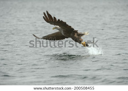 A White tailed Eagle hunting off the Norwegian coast snatches a meal from the water. - stock photo