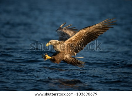 A White tailed Eagle in flight, diving to the water to seize its' prey. - stock photo