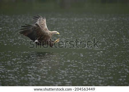 A White-tailed eagle is about to strike its prey on the surface of the cold waters of a deep Norwegian fjord. - stock photo