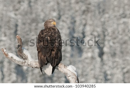 A White tailed Eagle. Perched on the limb of a dead tree, looking to the right. - stock photo