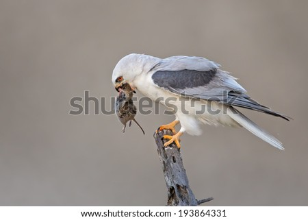A White-tailed Kite feasting on its fresh catch at Coyote Hills Regional Park, Fremont, CA. - stock photo