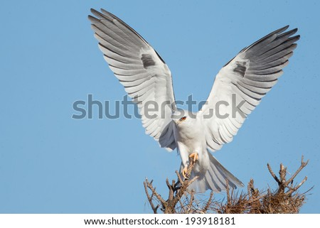 A White-tailed Kite posing on a perch top. - stock photo