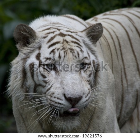 A white tiger anticipates her next meal