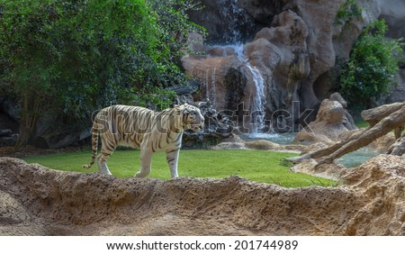 A white tiger walking in its enclosure. - stock photo