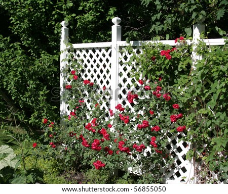 A white trellis supporting a large red rose vine. - stock photo