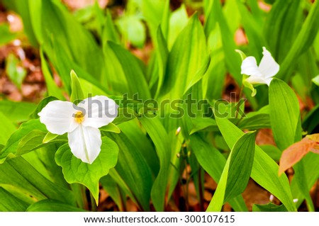A white trillium flower blooming on a forest floor in spring - stock photo