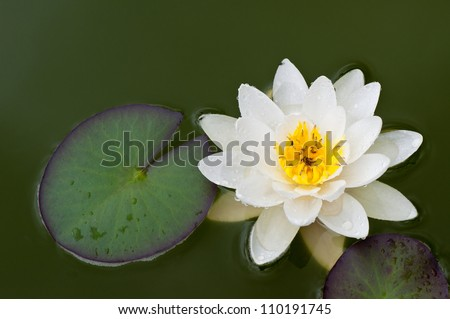 A white water lily in a pond. - stock photo