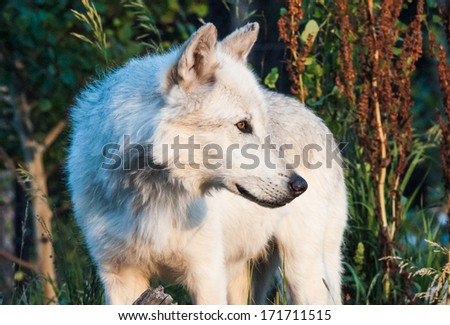 A white wolf stands at the treeline - stock photo