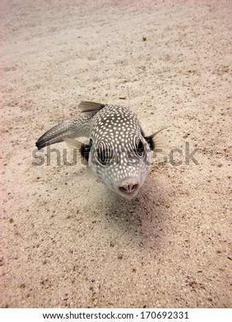 A whitespotted puffer fish looking for some food on sand - stock photo