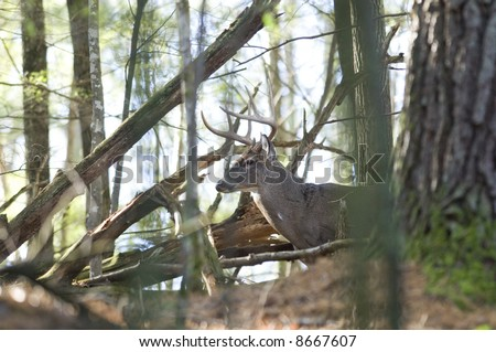 A whitetail buck is hidden in a dense patch of Tennessee woods.