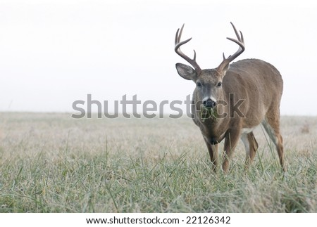 A whitetail buck looks up while munching on grass in an open meadow on a foggy morning in Tennessee - stock photo