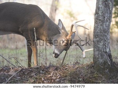 A whitetail buck rubs on a tree as part of the rut - stock photo