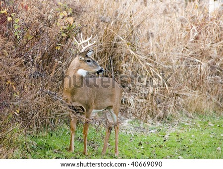 A whitetail deer buck standing in a field.