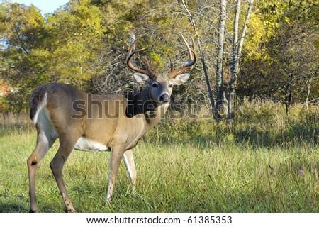 A whitetail deer buck standing in an open field. - stock photo