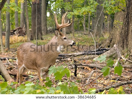 A whitetail deer buck standing in the woods.