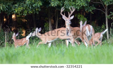 A whitetail deer buck stands still while does and fawns flee. Motion blur in running animals. - stock photo