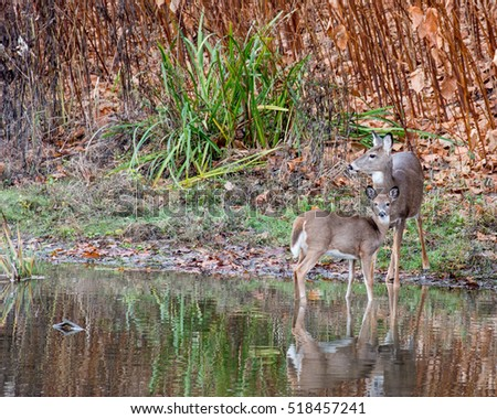 A whitetail deer doe standing at the edge of a stream with yearling.