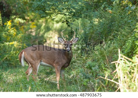 A whitetailed buck stands in tall grasses in the forest.