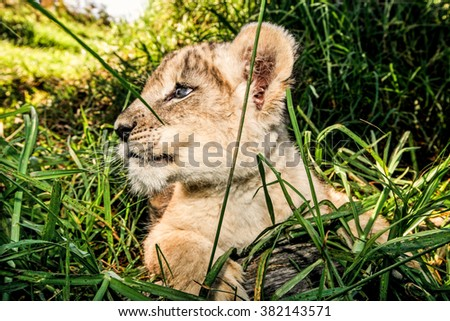 A wide angle close up of a baby lion cub outdoors in the grass - stock photo