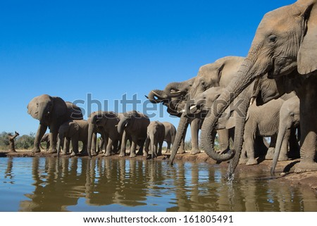 A wide angle photo of a herd of African elephants standing in a row and drinking from a small waterhole in Botswana - stock photo