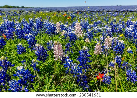 A Wide Angle View of a Beautiful Field Blanketed with the Famous Texas Bluebonnet (Lupinus texensis) Wildflowers.  With a few Rare White Varieties. - stock photo