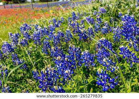 A Wide Angle View of a Beautiful Field Blanketed with the Famous Texas Bluebonnet (Lupinus texensis) Wildflowers. - stock photo