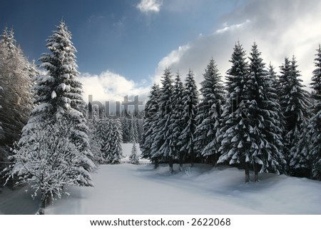 A wide clearing in a fir tree forest - stock photo