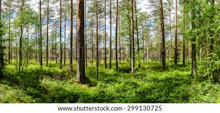 A wide view of the light pine forest