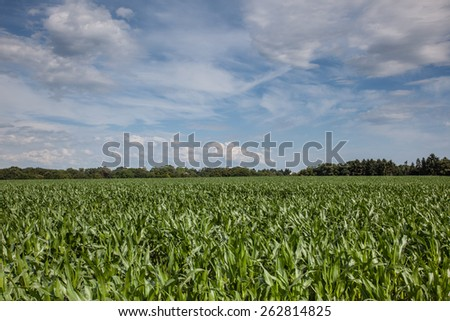 A wideshot from a maize field with some clouds at a sunny day. - stock photo