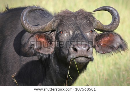 A WILD African Buffalo stares down and intimidates the photographer in the Masai Mara, Kenya, Africa - stock photo