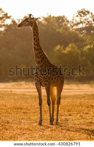 A wild African giraffe at sunset - stock photo