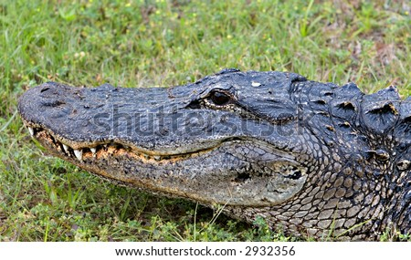 A Wild Alligator by a Florida Swamp - stock photo
