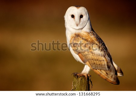 A wild barn owl - stock photo