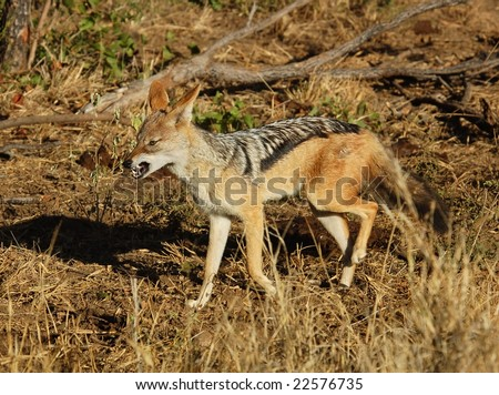 A wild blackbacked jackal photographed in Mpumalanga, South Africa. - stock photo