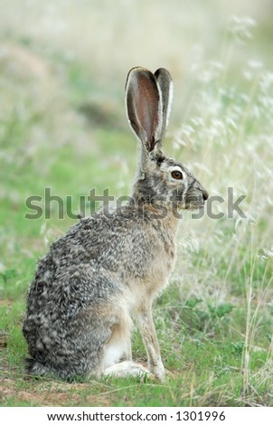 A wild blacktailed jack rabbits sits quietly in the grass.