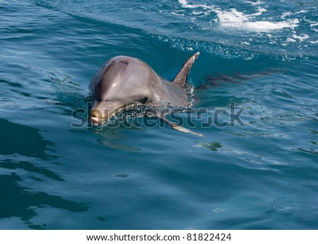 A wild bottlenose dolphin (Turisops Truncatus)  looking inquisitively out of the clear deep blue atlantic ocean - stock photo