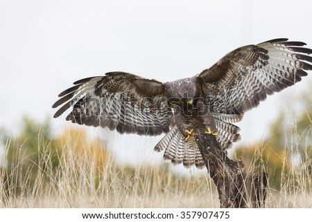 A wild buzzard flying, wings spread and landing on an old tree branch in the countryside. The Buzzard is a bird of prey in the Hawk and Eagle family. - stock photo