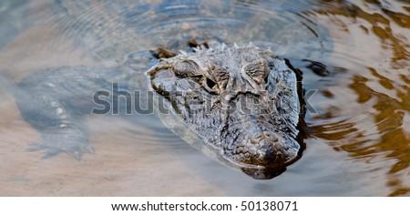 A wild Caiman (Alligator) partially submerged in clear water - Iguazu - stock photo