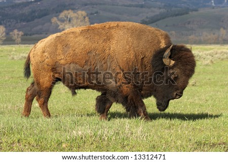 A wild, charging, America Bison - a huge mature bull. Grand Teton NP. Note dirt on horns. - stock photo